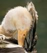 Central Park Duck