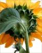 Sunflower # 846