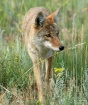 Coyote on the Pro...
