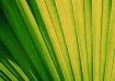 Fanned Palm Leaf