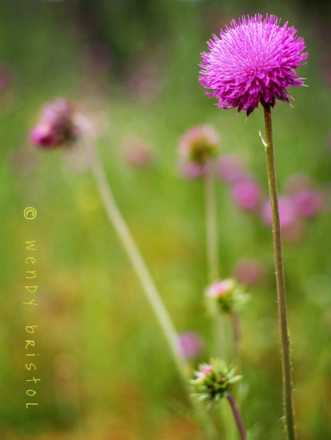 canadian thistles