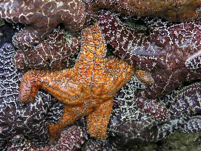 Starfish - ID: 4434718 © Jannalee Muise