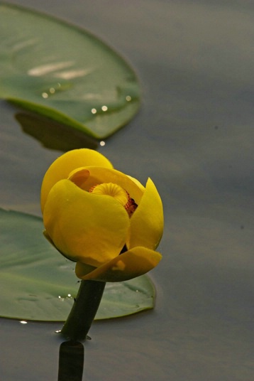 Lily Lake  - ID: 4438692 © Crystal E. Berryman