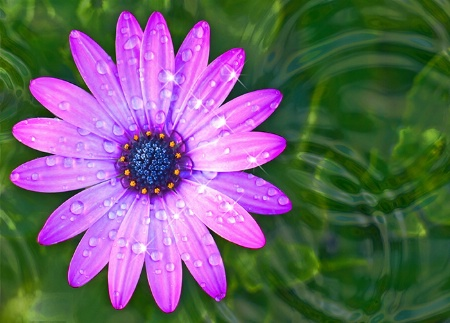 African Daisy Bejeweled