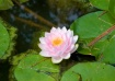 """""""Waterlily..."""