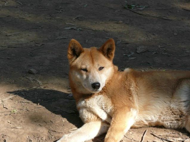 Red Dingo - - ID: 4451100 © Ana Hanley