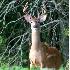 © Danny L. Klauss PhotoID # 4453253: Full Velvet Buck