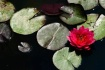 Red Water Liliy