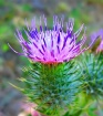 Valley  Thistle
