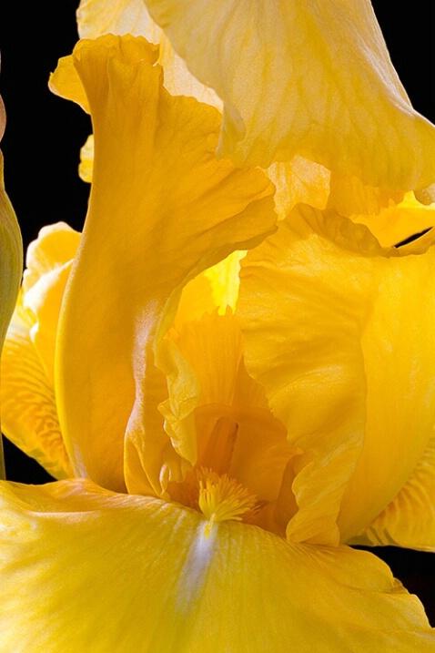 iris, yellow, flower, macro