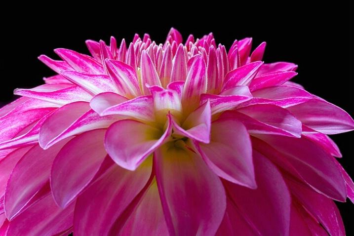 dahlia, pink, flower, macro