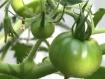 Hairy Tomatoes