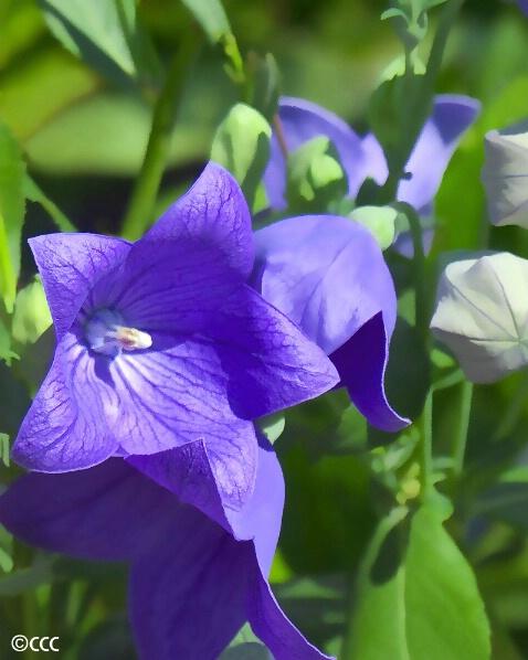 Purple Balloons - ID: 4499379 © Candice C. Calhoun