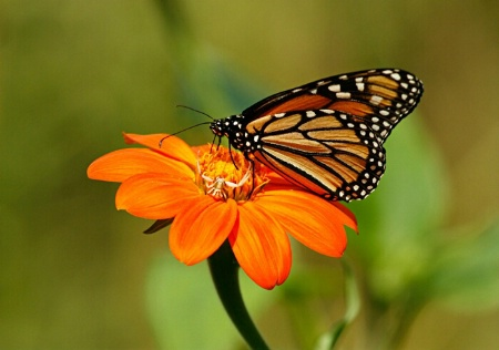 A Monarch and a Crab Spider