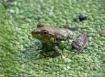Tiny frog in a bi...