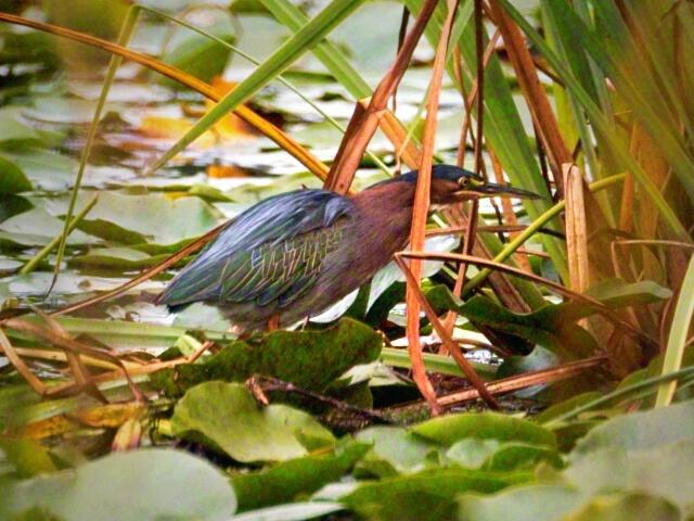 <b>Green Heron</b>