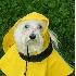 © Kevin Fogle PhotoID# 4513972: Maltese in rain coat