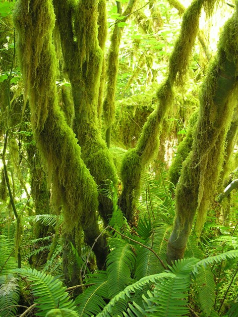 Hoh Rain forest - ID: 4515646 © Jannalee Muise