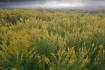 Goldenrod Meadow