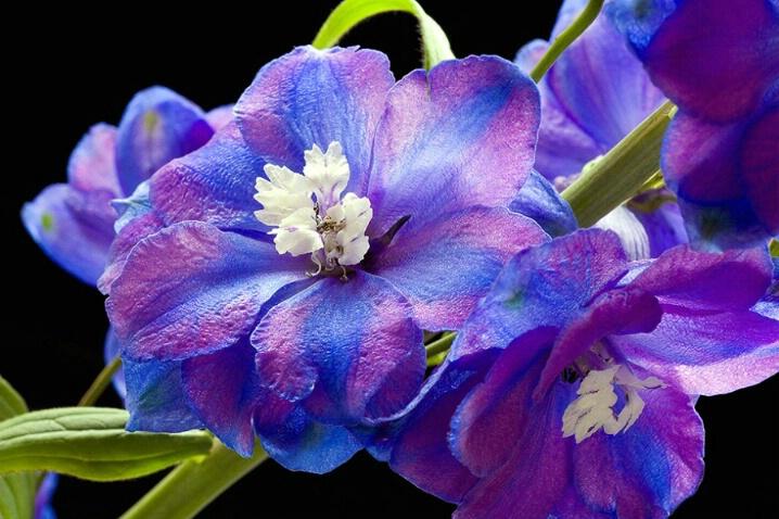 delfinium, blue, purple, flower, macro