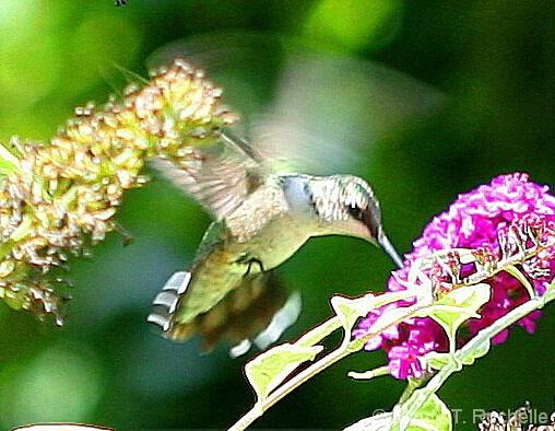 Hummingbird Dance - ID: 4552856 © Mindy T. DiVincenzo
