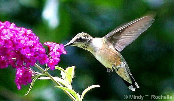 Hummingbird - ID: 4552899 © Mindy T. DiVincenzo