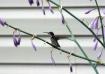 """Hummingbird ..."
