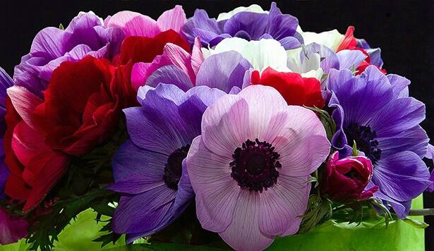 anemone, pink, purple, white, red, flower, macro