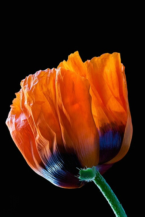Poppy, orange, macro, flower