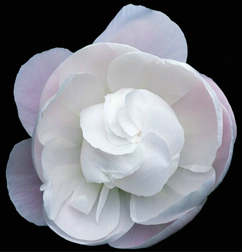 Peony, white, flower, macro