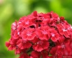 Sweet William....