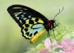 Cairns Birdwing B...