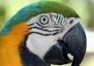Maui Parrot