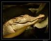 Still Croc