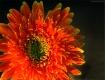 Gerbera Flower...