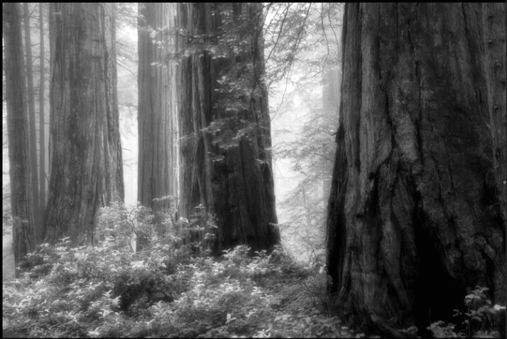 redwood_ghosts 1 - ID: 4619763 © Stuart May