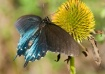 Pipevine Swallowt...