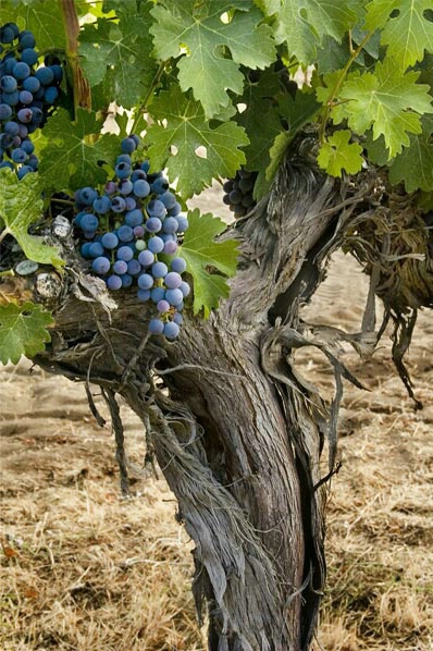 Old Vines are Best - ID: 4626870 © Tedd Cadd