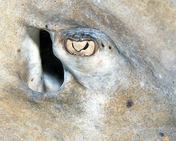 Stingray Eye