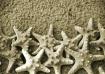 Sepia Starfish