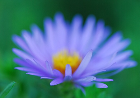 Dreamy Aster