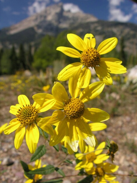Yellow flowers before theTetons - ID: 4641437 © Jannalee Muise