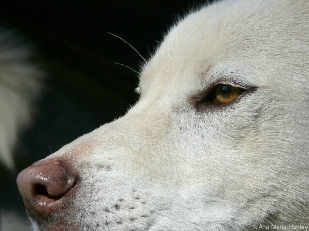 White Dingo - ID: 4646445 © Ana Hanley