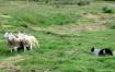 Sheepdog Trials i...