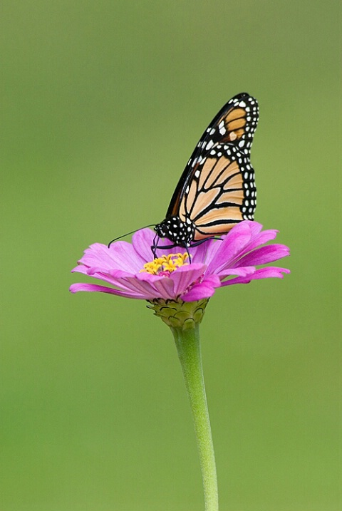 Monarch Pollinating a Zinnia