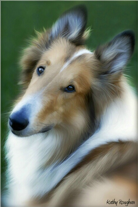 Collie Portrait - ID: 4666371 © Kathleen Roughan