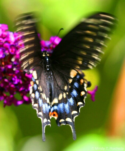 Butterfly Blurred - ID: 4673138 © Mindy T. DiVincenzo