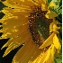 © Greg Lessard PhotoID# 4677512: Sunflowers #4