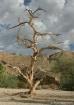 crooked_old_tree_...