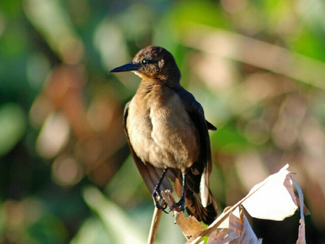Balancing Act.......Common Grackle-Female - ID: 4718280 © Ronald Finegold